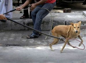 Stray dogs caught by unauthorised men