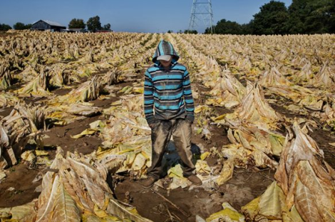 Trying to Stand Tall in Tobacco: A teenage tobacco farm worker (Photo Credit: Marcus Beasdale/VII for Human Rights Watch; http://www.hrw.org/sites/default/files/reports/us0514_photoSumUploadwCvr.pdf)